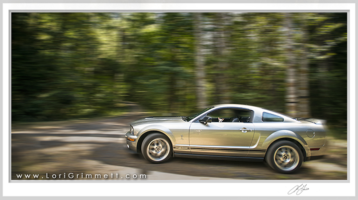 Chihuahua driving Shelby Mustang GT500