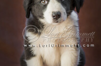 English Shepherd Puppy